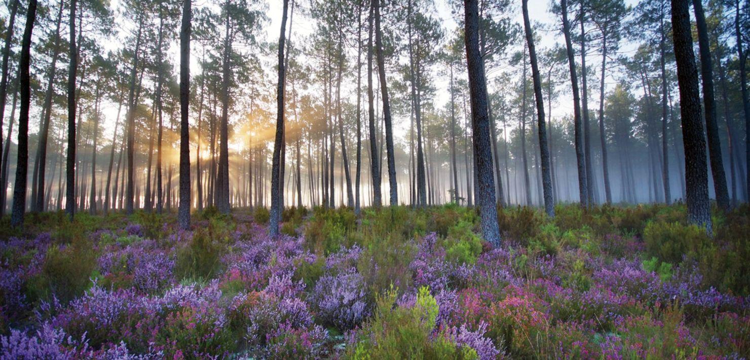 La forêt des Landes de Gascogne à Mimizan - bruyère et pins des Landes