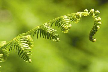 Plante des sous bois landais en sous bois forestier à Mimizan
